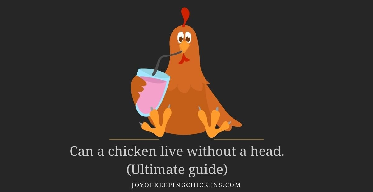 Can a chicken live without a head.(Ultimate guide)